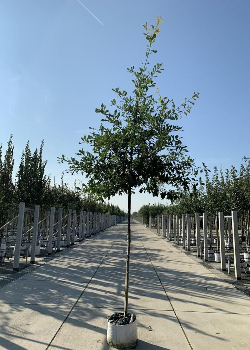 Traubeneiche | Quercus petraea