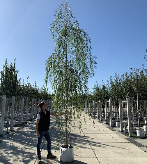 Trauerweide Hängeweide | Salix sepulcralis  'Chrysocoma'