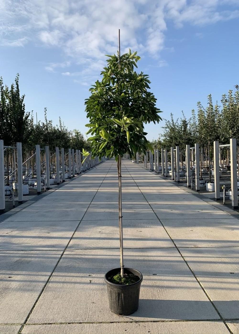 Nordamerikanischer Baum Sassafras | Sassafras albidum