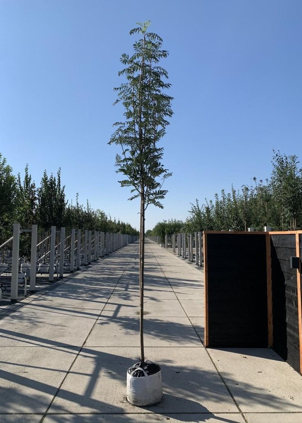Vogelbeere Asplenifolia   Sorbus aucuparia 'Asplenifolia'