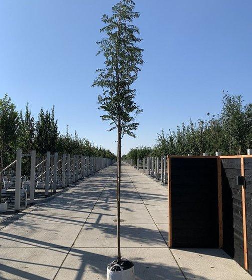 Vogelbeere Asplenifolia | Sorbus aucuparia 'Asplenifolia'