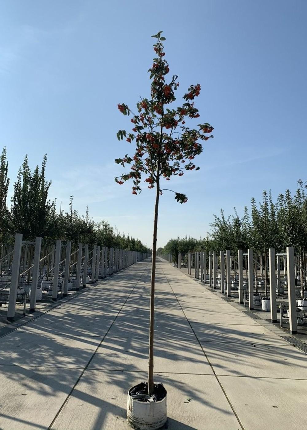 Säulen-Eberesche | Sorbus thuringiaca 'Fastigiata'