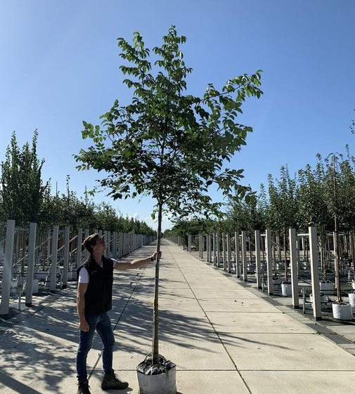 Bienenbaum | Tausendblütenstrauch  Tetradium daniellii