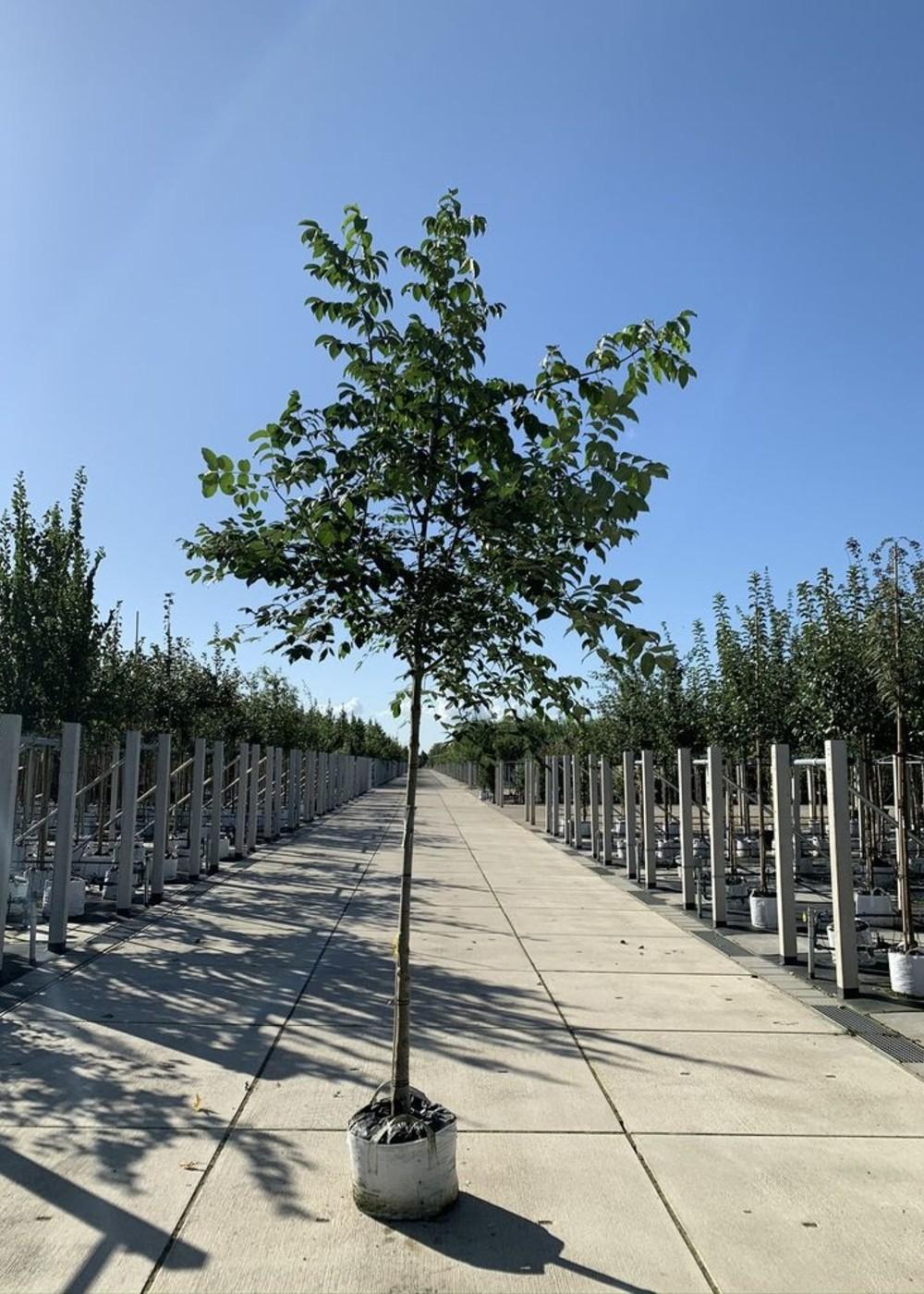 Bienenbaum | Tausendblütenstrauch | Tetradium daniellii