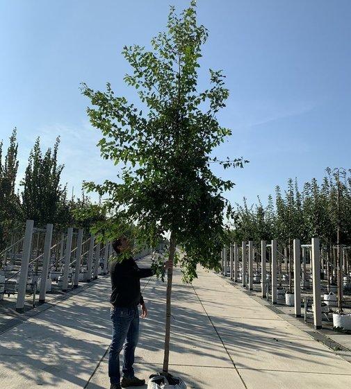 Feuerahorn | Acer tataricum 'Ginnala'