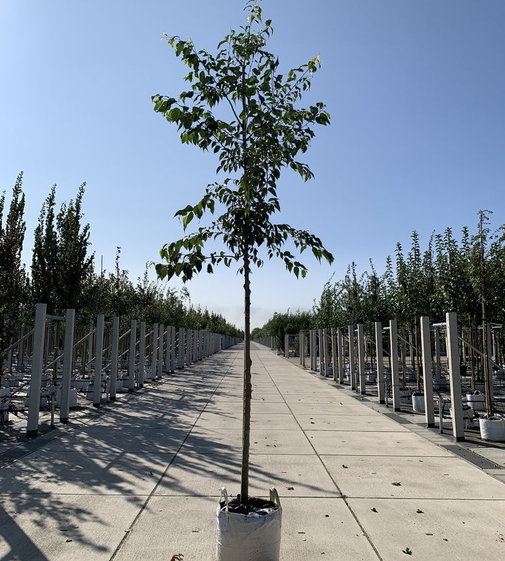 Europäischer Zürgelbaum | Celtis australis