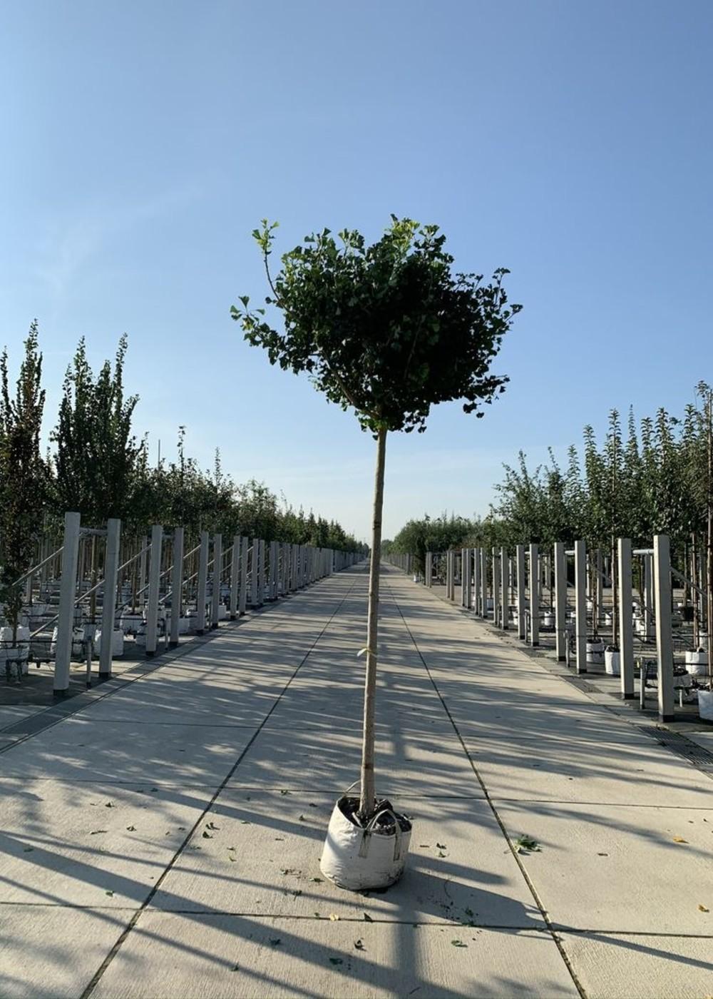 Fächerblattbaum Mariken | Ginkgo biloba 'Mariken'