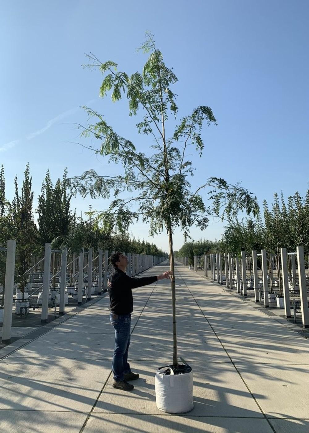 Dornenloser Lederhülsenbaum | Gleditsia triacanthos inermis