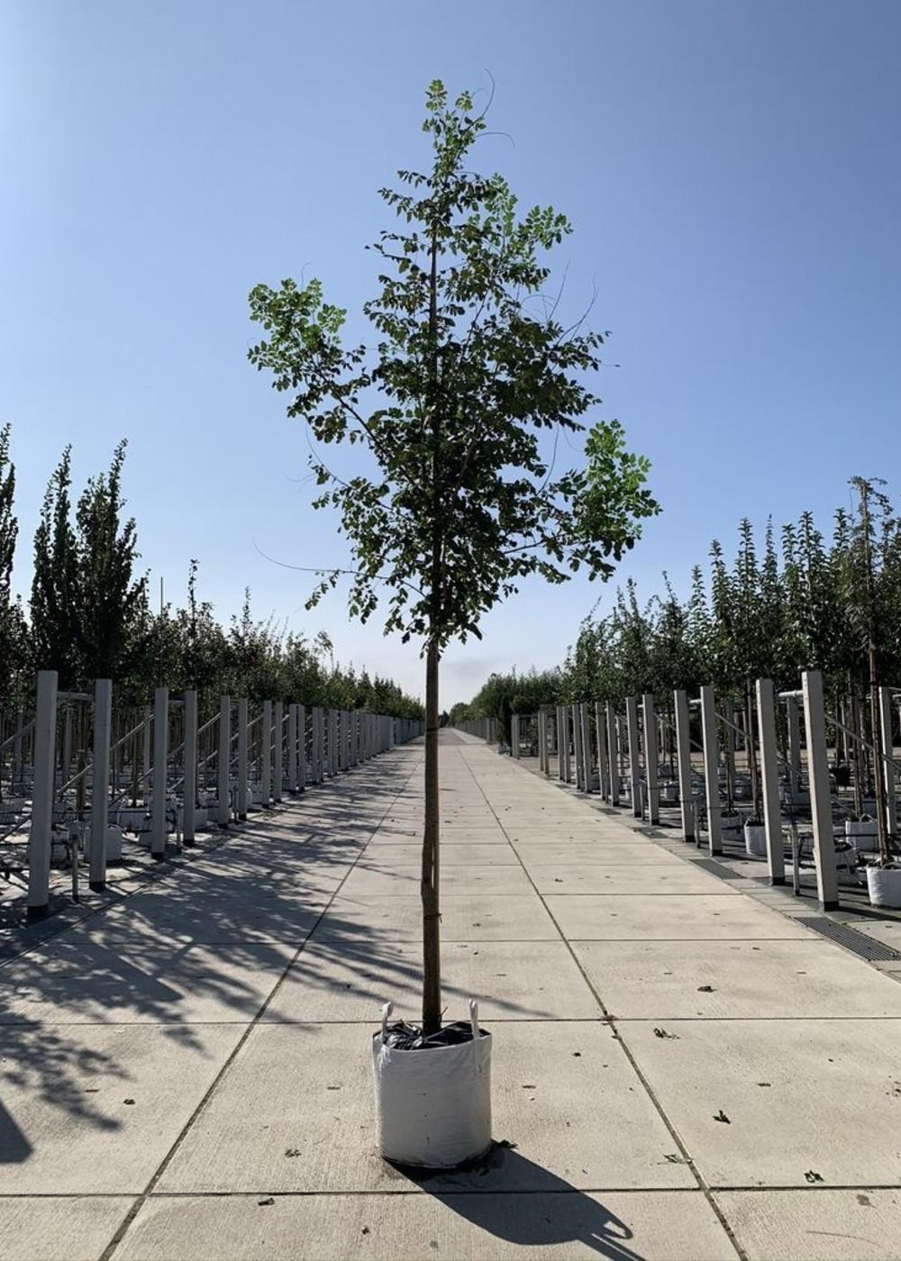 Blasenbaum | Koelreuteria paniculata