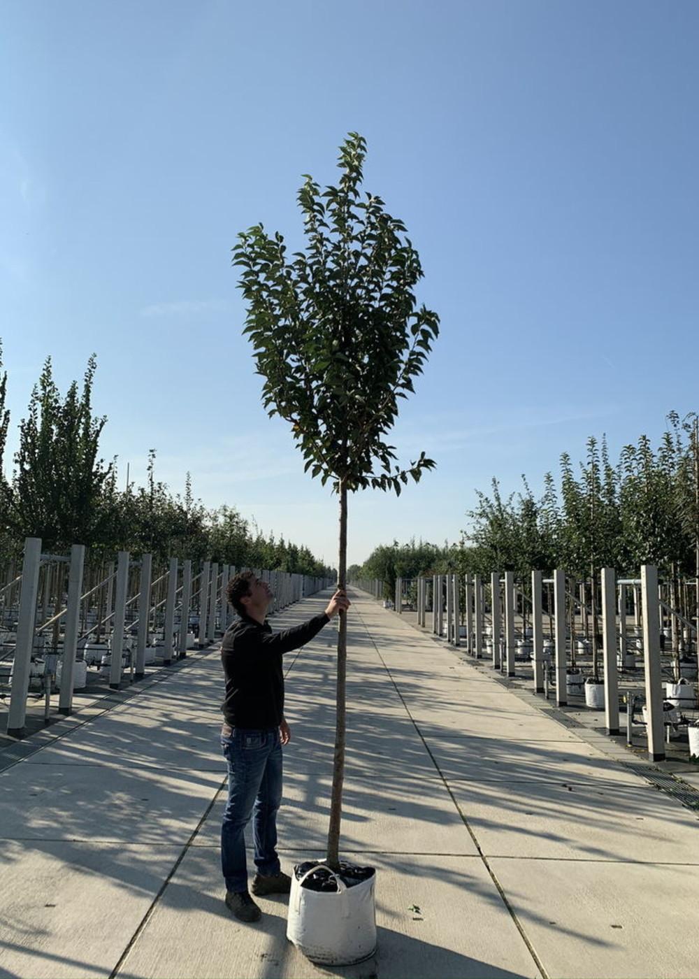 Zierkirsche Umineko | Prunus Umineko
