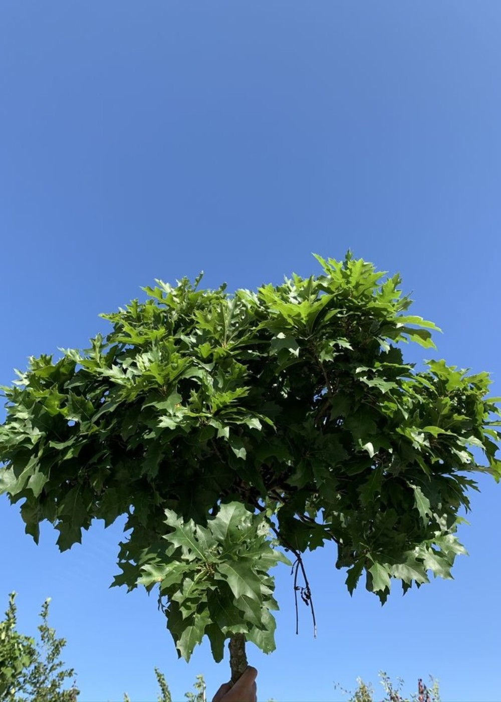 Sumpf-Eiche Green Dwarf | Quercus palustris 'Green Dwarf'
