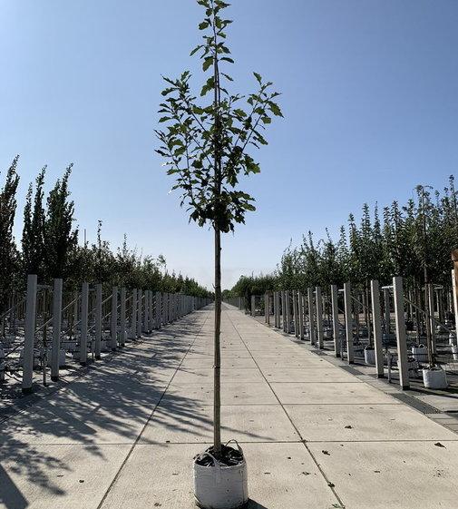 Amerikanische Roteiche | Quercus rubra