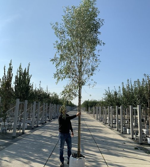 Silberweide | Salix alba