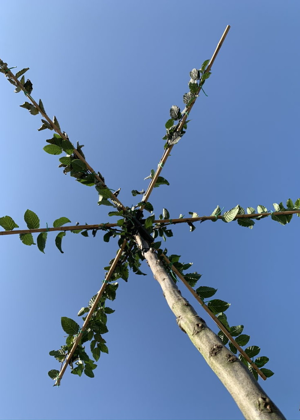   Carpinus Betulus Dach