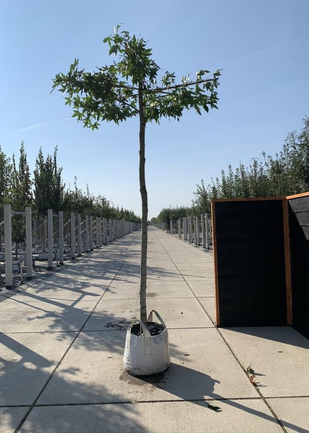 Amberbaum Worplesdon Dachbaum | Liquidambar styraciflua 'Worplesdon' Dachbaum