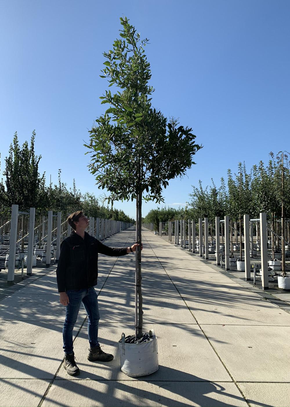 Eiche | Quercus turneri Pseudoturneri