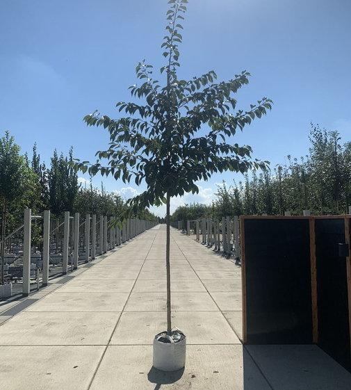 Tokio Kirsche | Prunus yedoensis