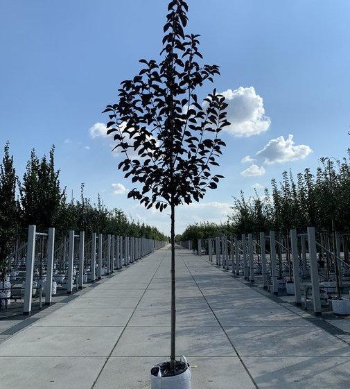 Virginische Traubenkirsche | Prunus virginiana 'Shubert'