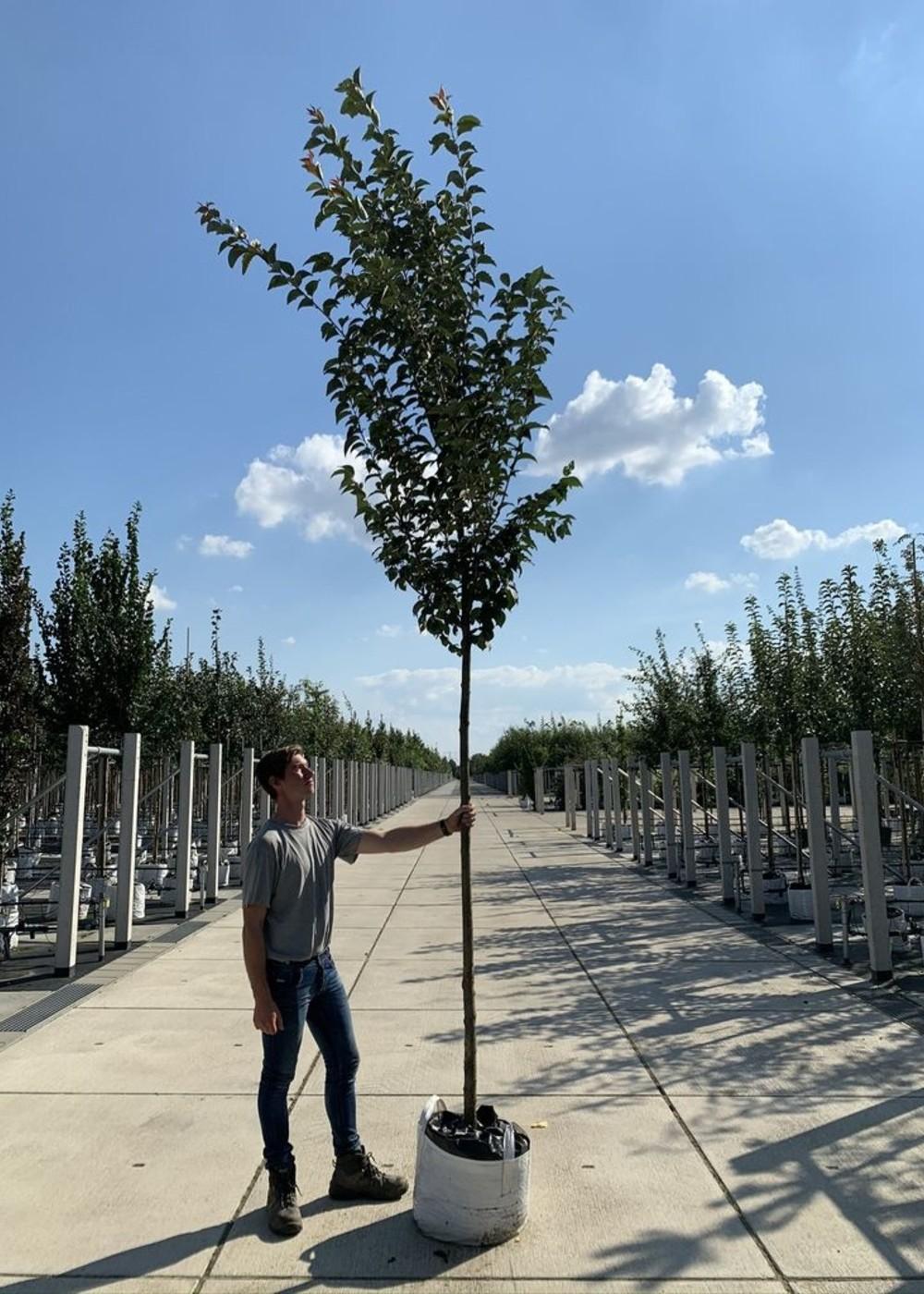 Säulenkirsche Spire | Prunus hillieri 'Spire'