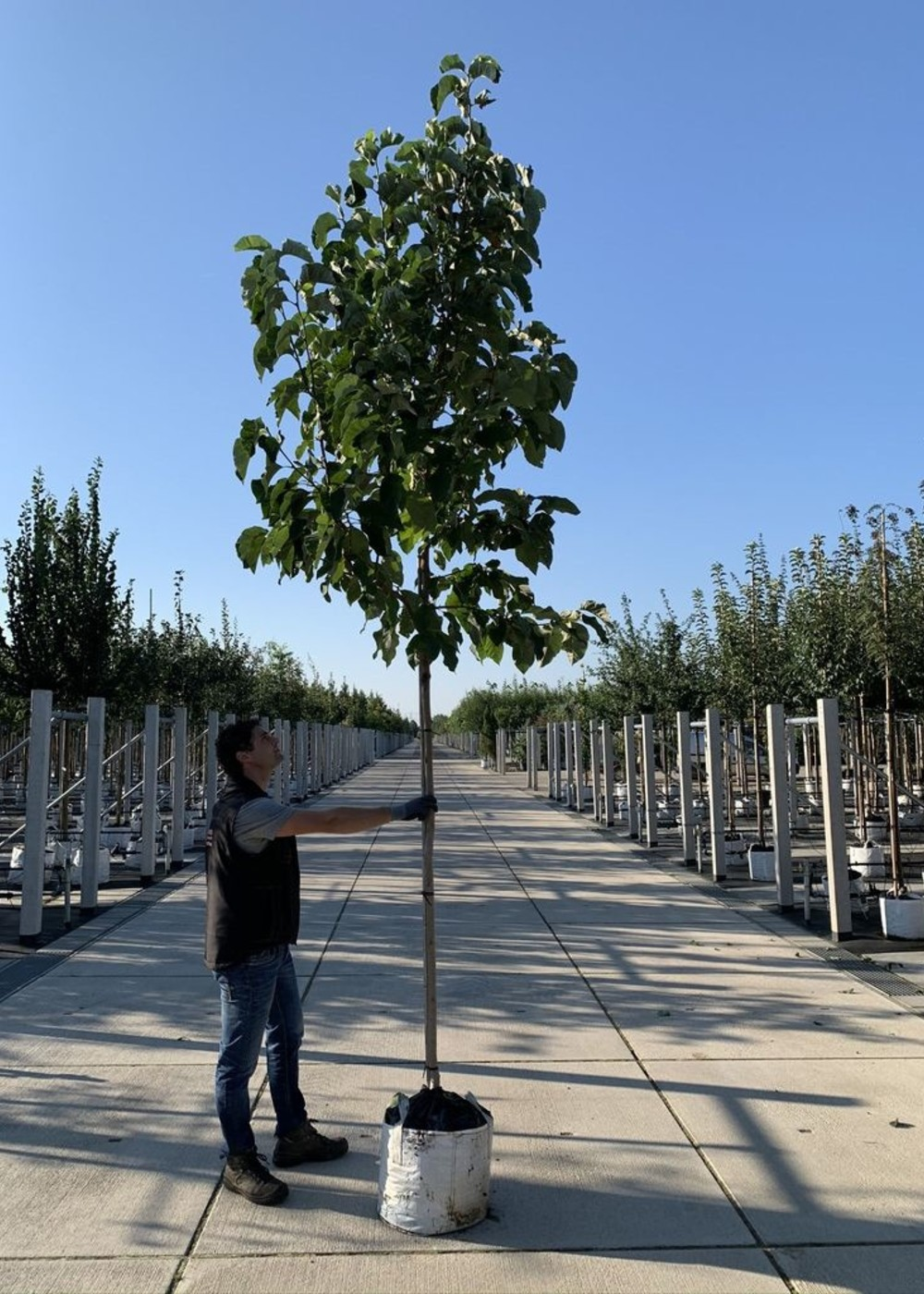 Magnolie Heaven Scent | Magnolia soulangiana 'Heaven Scent'