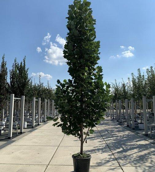 Säulen-Tulpenbaum | Liriodendron tulipifera 'Fastigiatum'