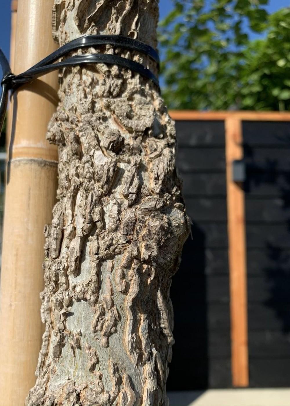 Amerikanischer Amberbaum | Liquidambar styraciflua