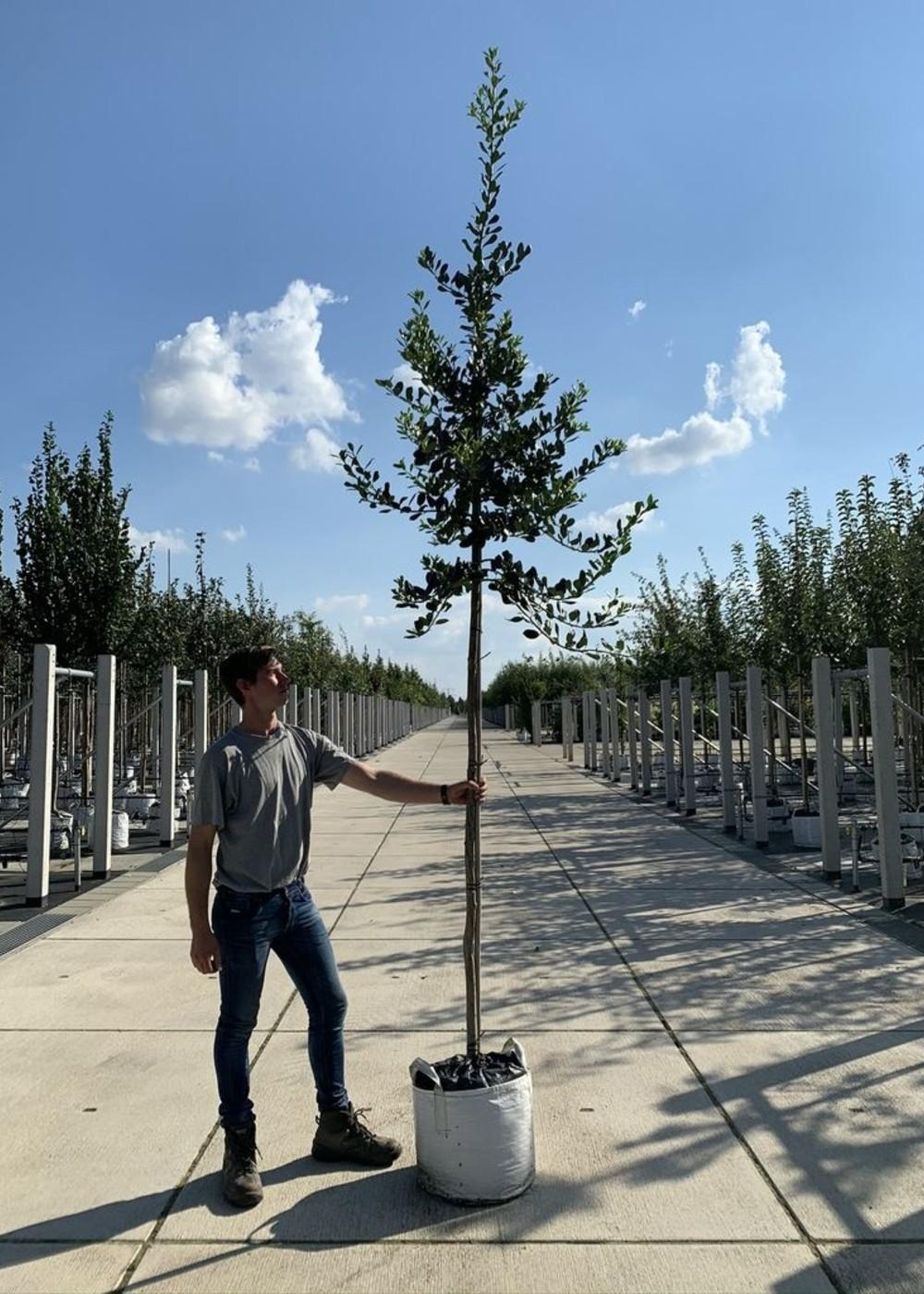 Ganzrandige Stechpalme | lex aquifolium 'J.C. van Tol'