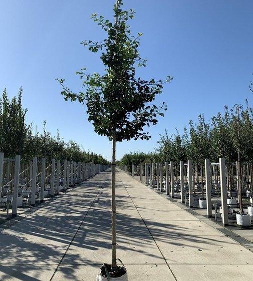 Säulen-Fächerblattbaum Tremonia | Ginkgo biloba 'Tremonia'