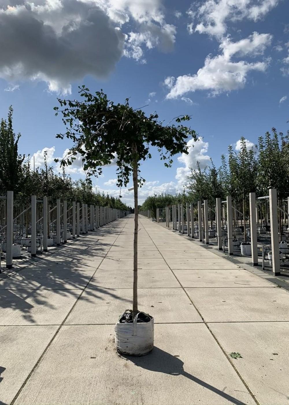 Breitwachsender Fächerblattbaum   Ginkgo biloba 'Horizontalis'