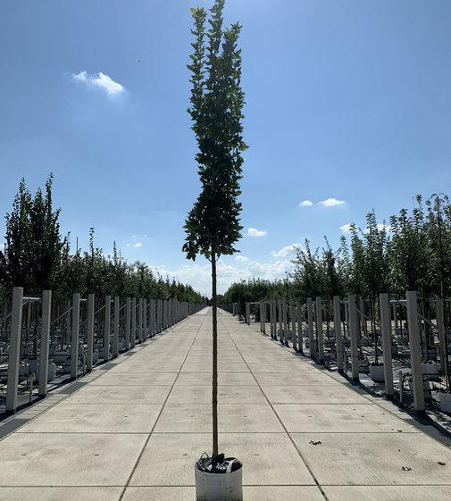 Mauritzahorn | Acer platanoides 'MAURITZ UPRIGHT' ®