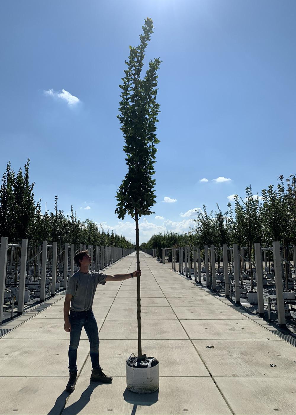 Mauritzahorn | Acer platanoids 'MAURITZ UPRIGHT' ®