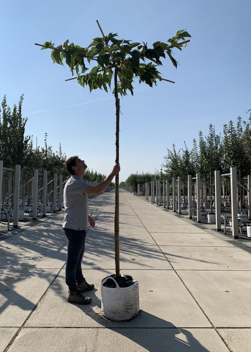Weißer Maulbeerbaum 'Macrophylla' Dachbaum | Morus alba macrophylla Dachbaum