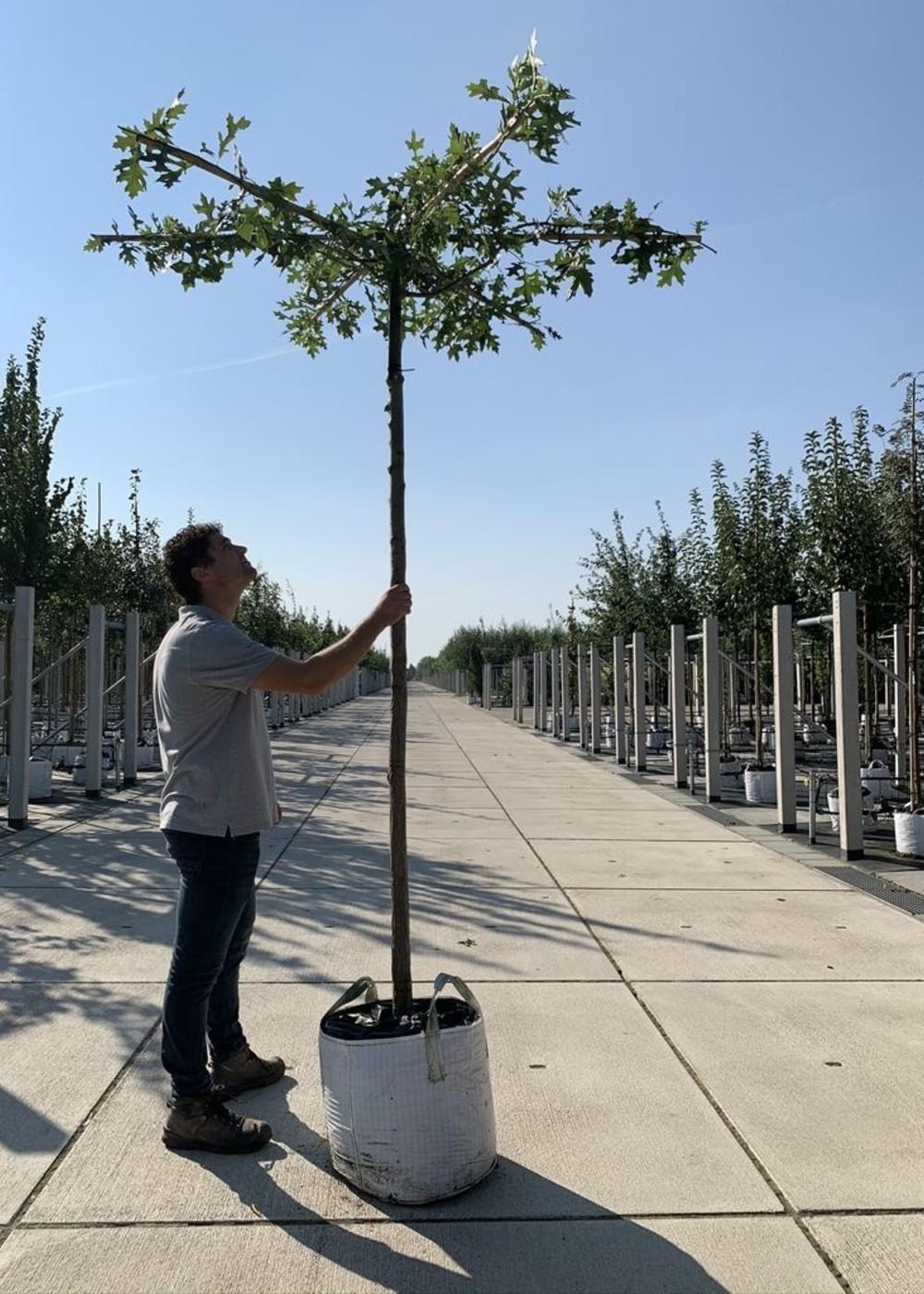 Sumpf-Eiche Dachbaum| Quercus palustris Dachbaum