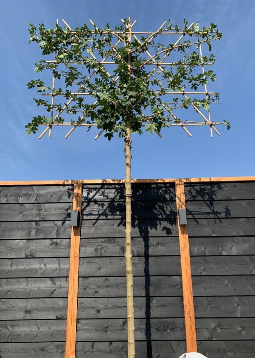 Feldahorn Spalierbaum   Acer campestre Spalierbaum