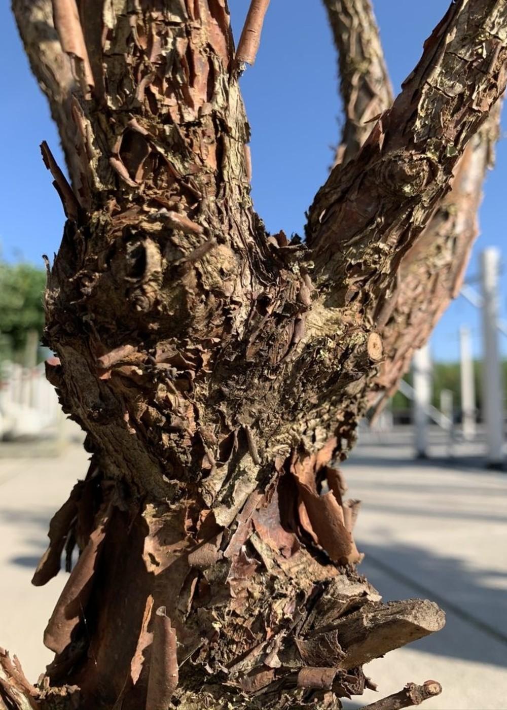 Zimtahorn Buschform | Acer griseum Buschform