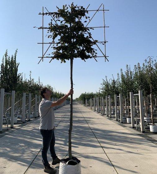 Blutbuche Spalierbaum | Fagus sylvatica 'Purpurea' Spalierbaum