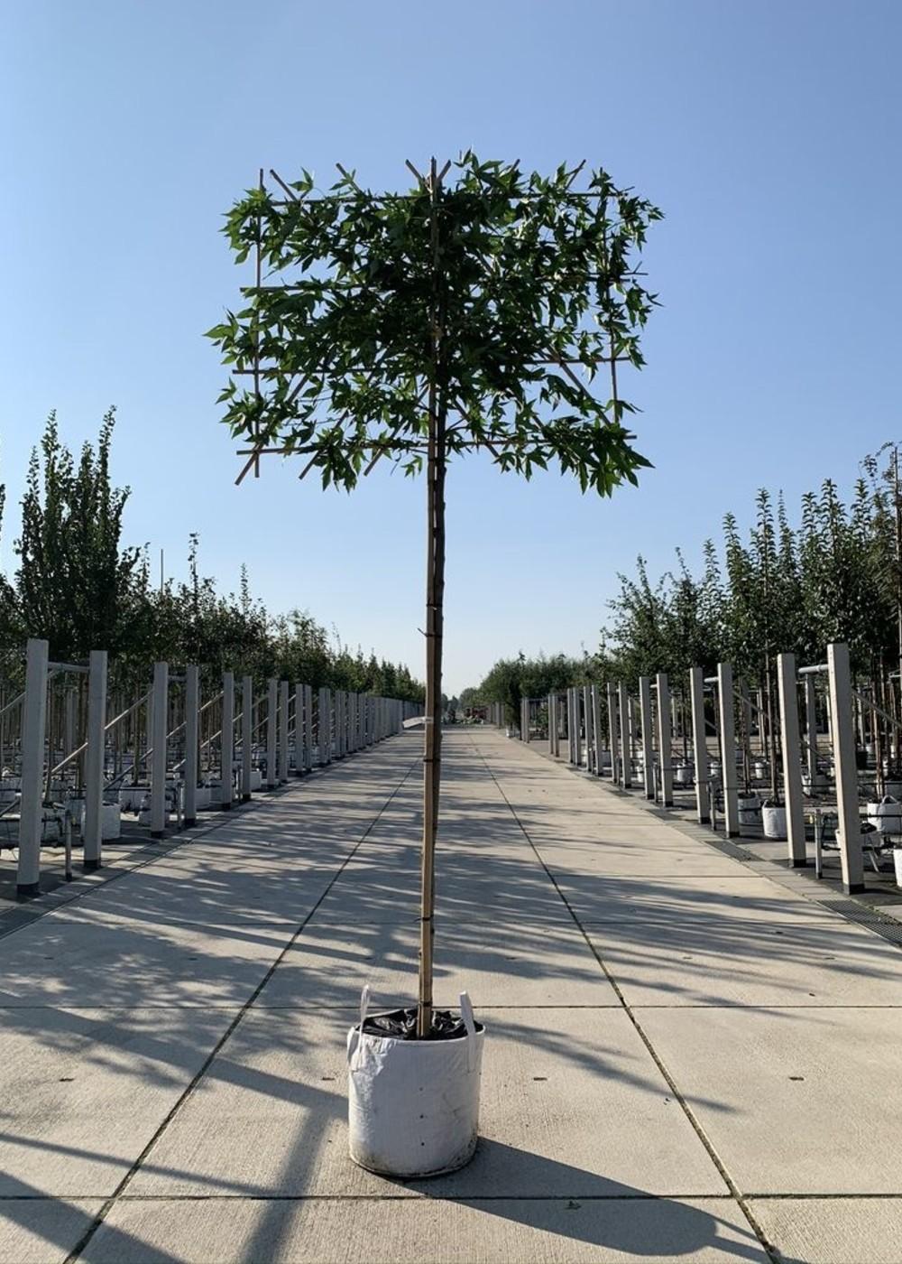 Amberbaum Worplesdon Spalierbaum | Liquidambar styraciflua 'Worplesdon' Spalierbaum