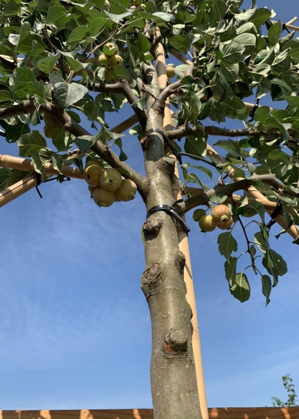 Zierapfel Evereste Spalierbaum | Malus 'Evereste' Spalierbaum