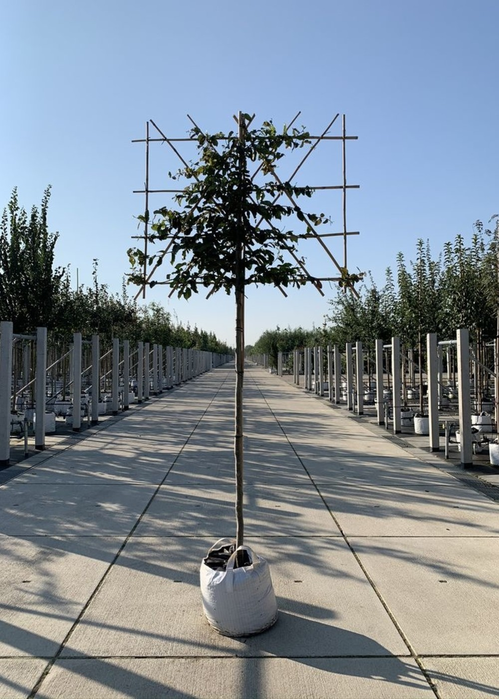 Eisenholzbaum Spalierbaum | Parrotia persica Spalierbaum