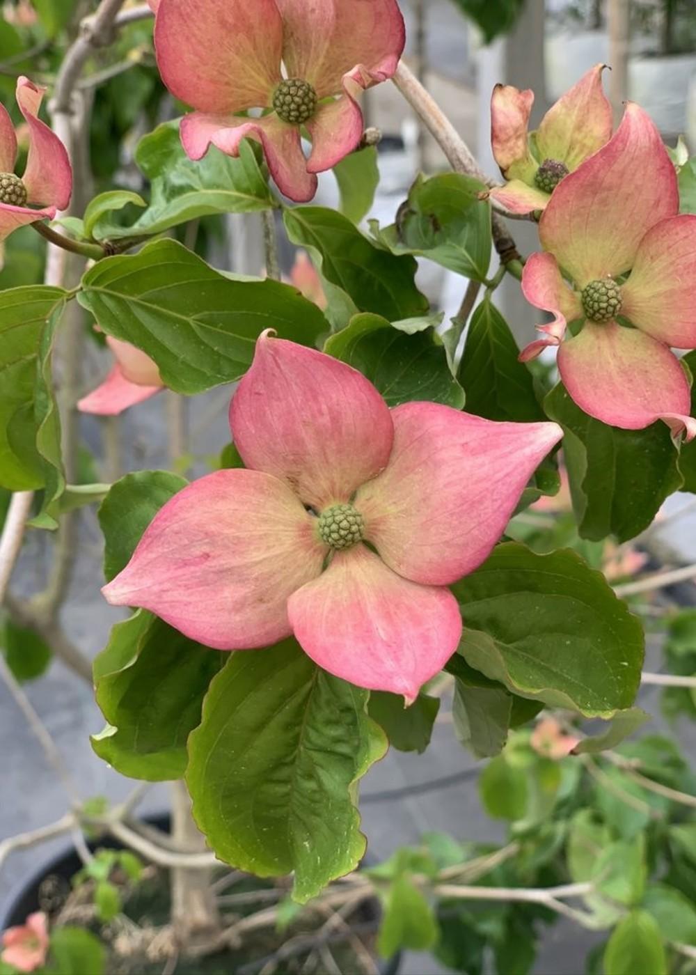 Chinesischer Blumen-Hartriegel Stellar Pink | Cornus kousa 'Stellar Pink'
