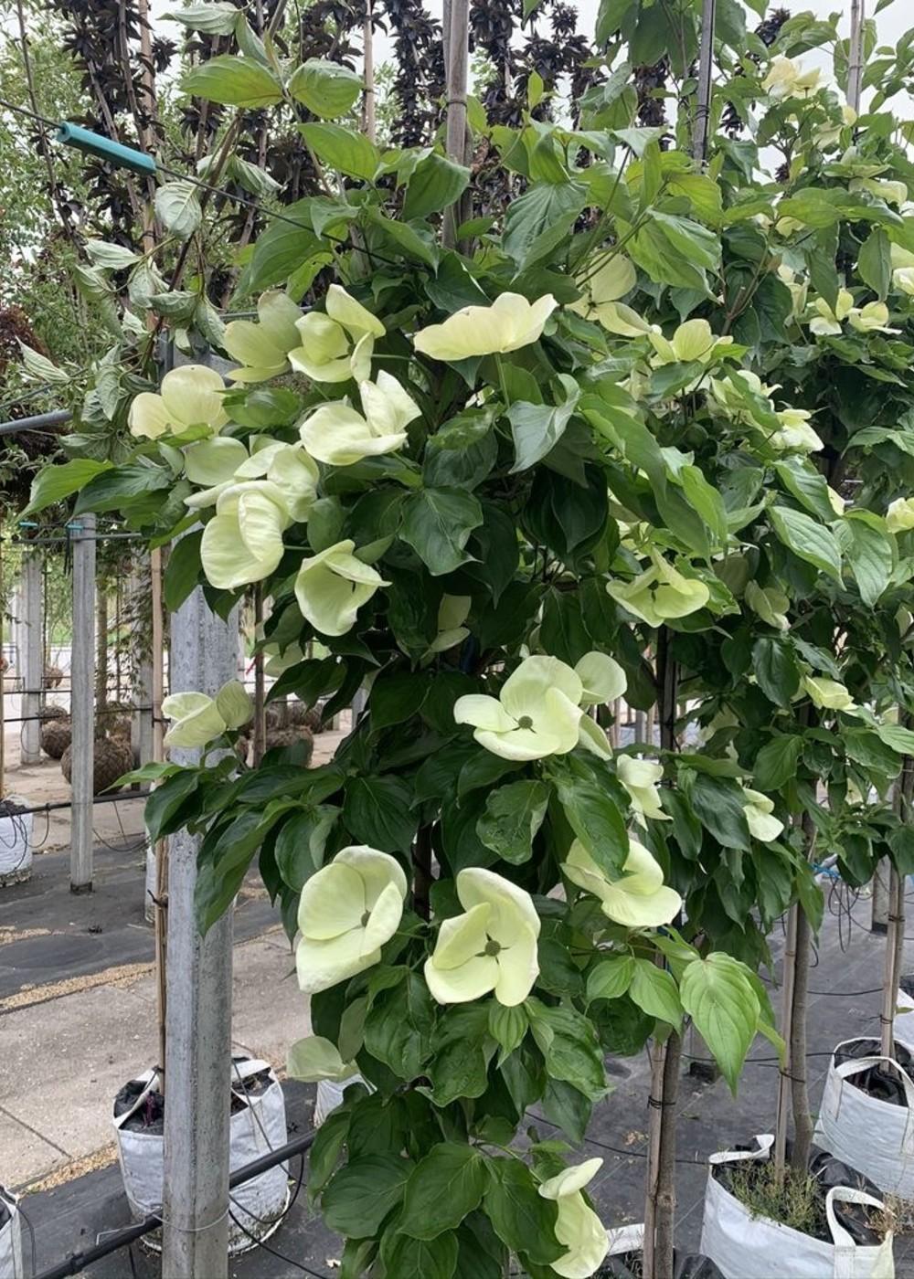 Japanischer Blumen-Hartriegel Venus | Cornus 'Venus'
