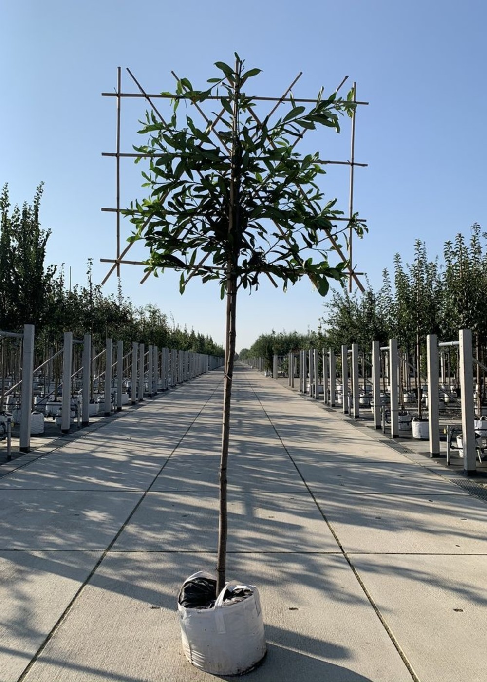 Kaukasischer Kirschlorbeer Spalierbaum   Prunus laurocerasus 'Caucasica' Spalierbaum