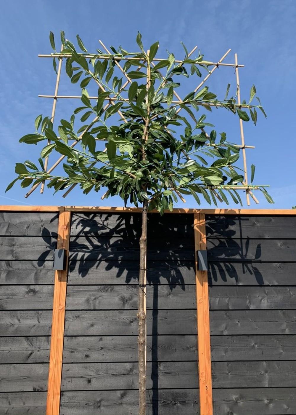 Kirschlorbeer Novita Spalierbaum | Prunus laurocerasus 'Novita' Spalierbaum