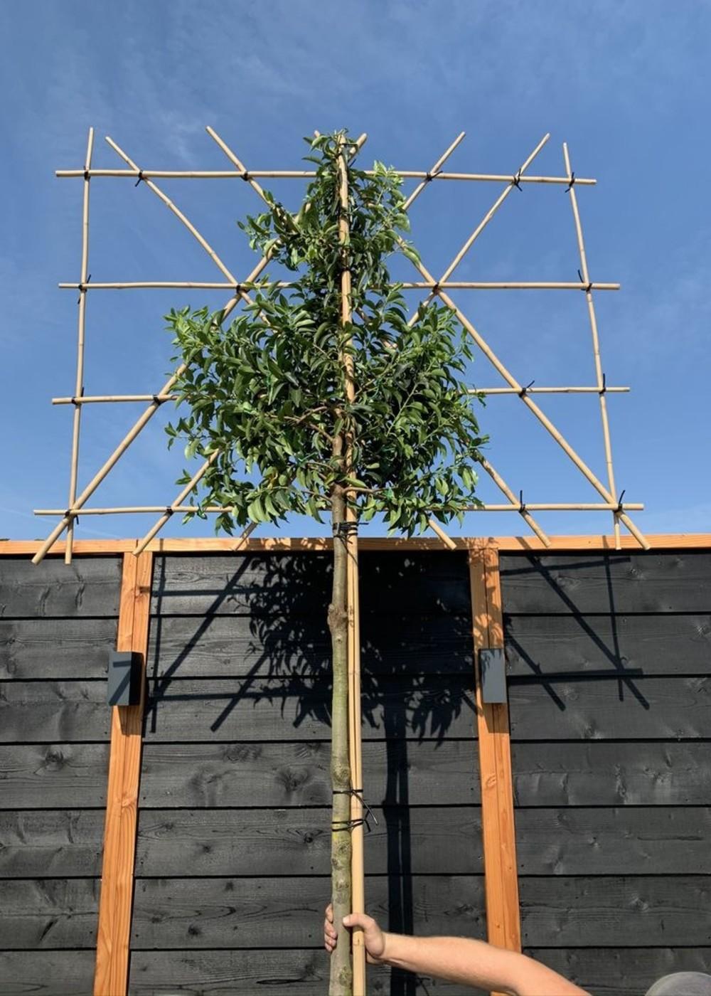 Portugiesischer Kirschlorbeer | Prunus lusitanica