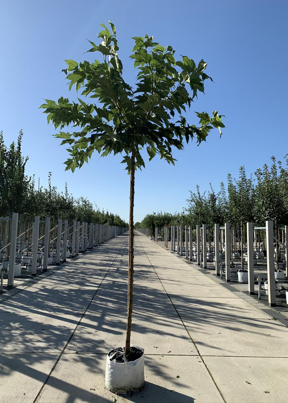 Platanenblättriger Maulbeerbaum   Morus alba 'Platanifolia'