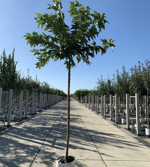 Platanenblättriger Maulbeerbaum | Morus alba 'Platanifolia'