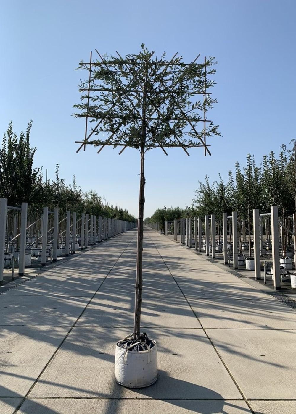 Stein-Eiche Spalierbaum | Quercus ilex Spalierbaum