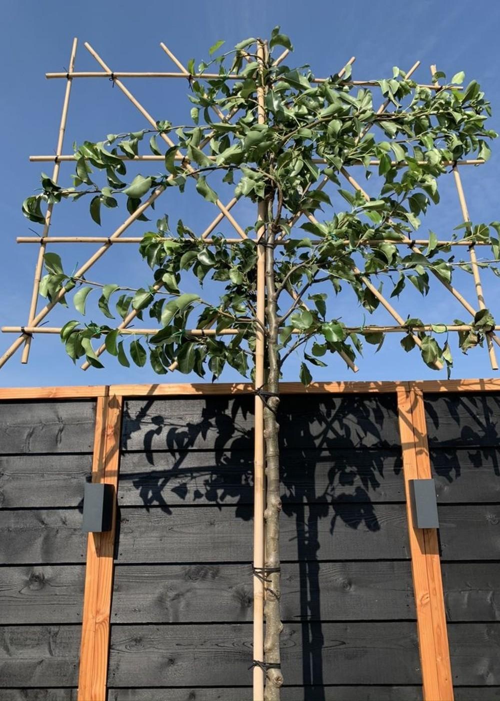 Stadtbirne Chanticleer Spalierbaum   Pyrus calleryana 'Chanticleer' Spalierbaum