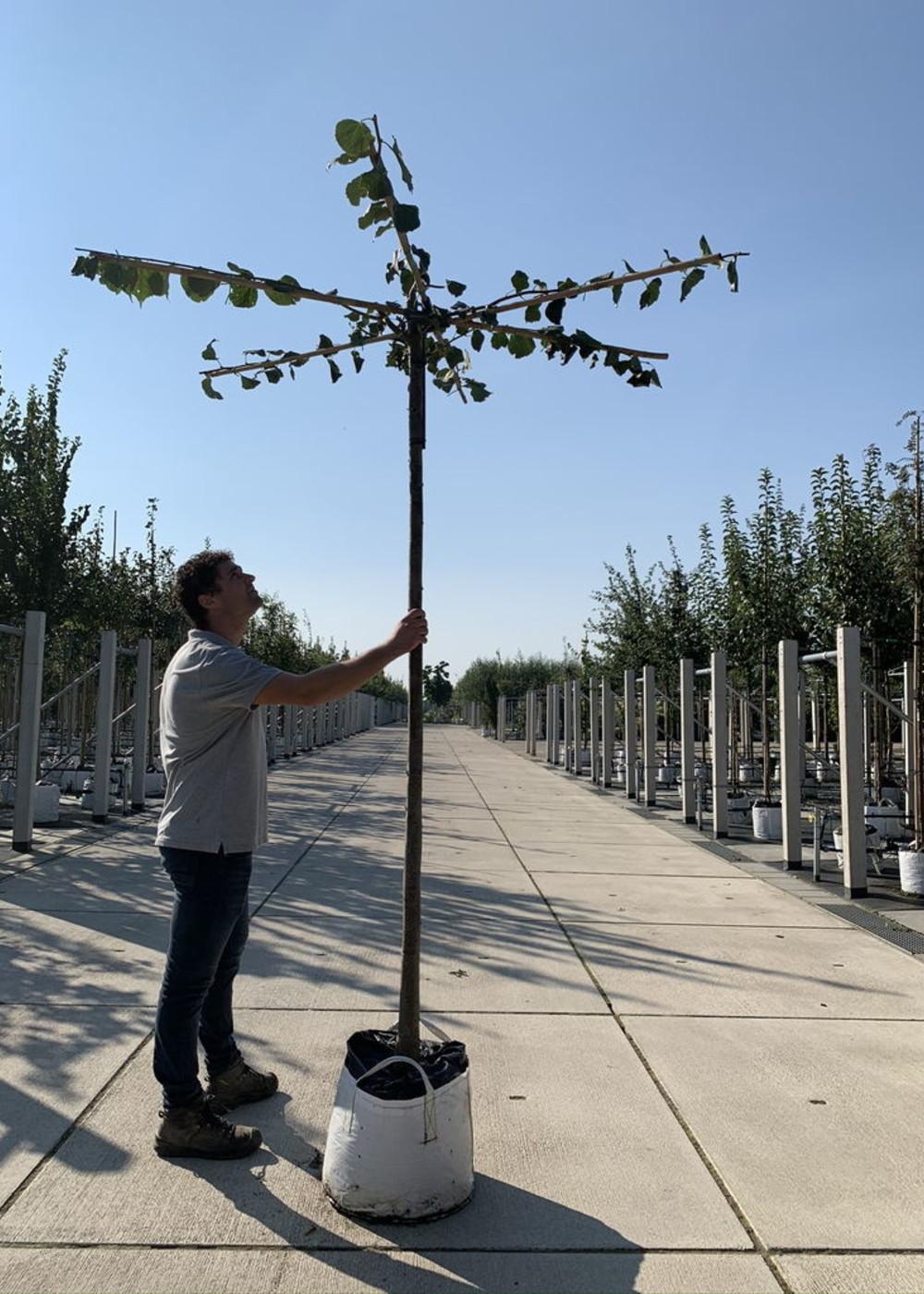 Kaiser Linde Pallida Dachbaum   Tilia europaea 'Pallida' Dachbaum