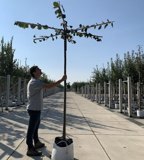 Kaiser Linde Pallida Dachbaum | Tilia europaea 'Pallida' Dachbaum